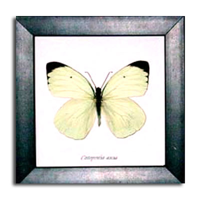 Framed White Butterfly with Black Tips
