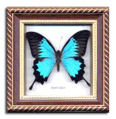papilio ulysses butterfly mahogany frame