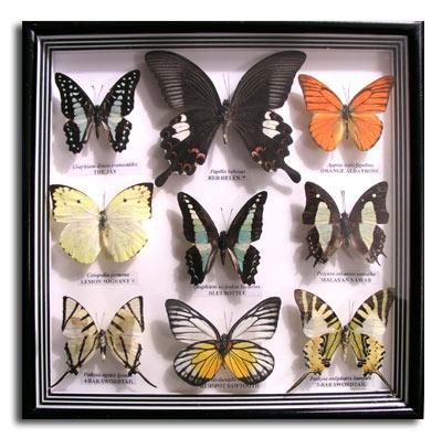 Box Frame / Shadow - Distinct Butterflies
