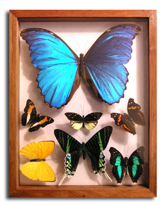 seven butterflies in see thru glass frame