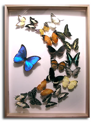 Exotic Butterflies In Glass Display Case