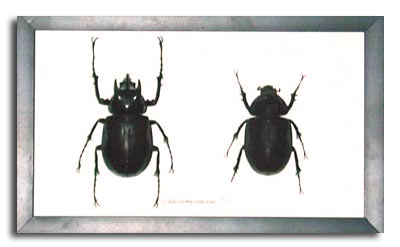 Male And Female Rhino Beetle Insects