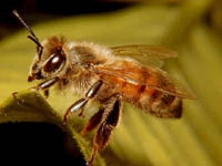 Wasps, Hornets, Yellow Jackets and Bees - photo#6